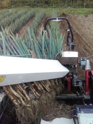 長ネギの収穫